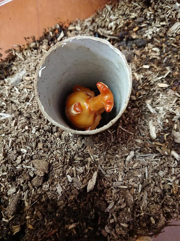 カブトムシの幼虫2018⑥