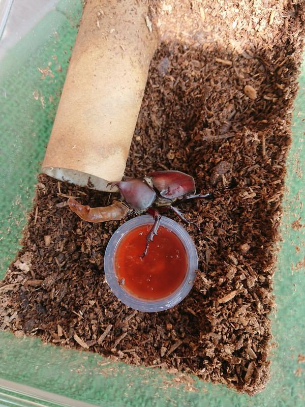 カブトムシの幼虫2018⑦
