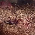 カブトムシの幼虫2018⑧