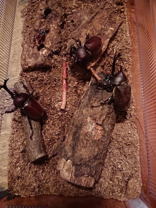 カブトムシの幼虫2018⑨